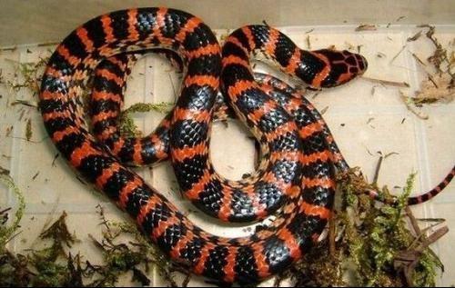 整理国内最最常见蛇类图鉴,教你认识身边蛇,多图