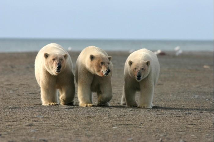 北极为啥能骤然升温几十度?和北极熊商量过吗?