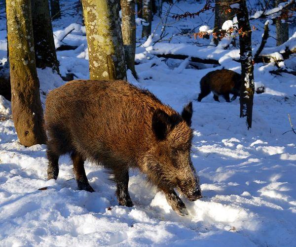 切尔诺贝利核事故30年后 千里之外的野猪仍受到辐射影响