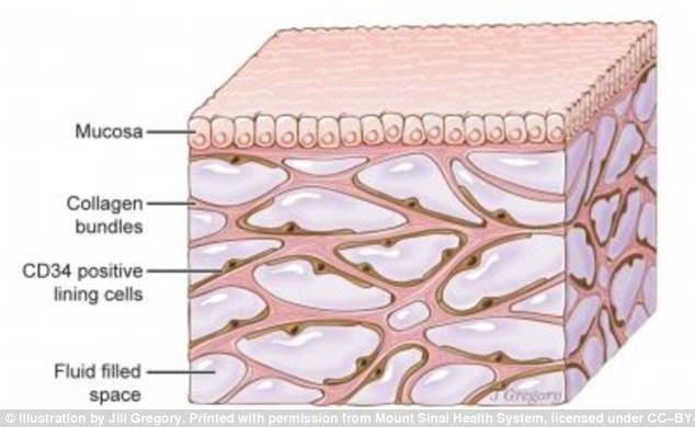 科学家发现新器官:遍布全身充当减震器作用
