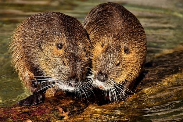 雄性褐鼠用眼泪求爱:泪液中的外激素能吸引雌鼠